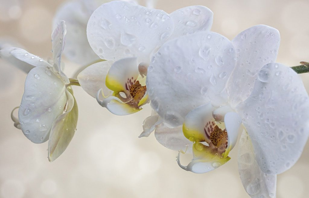 water orchids tips - white and beautiful